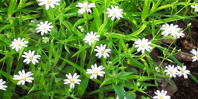 Растение мокрица — кладезь витаминов и минералов